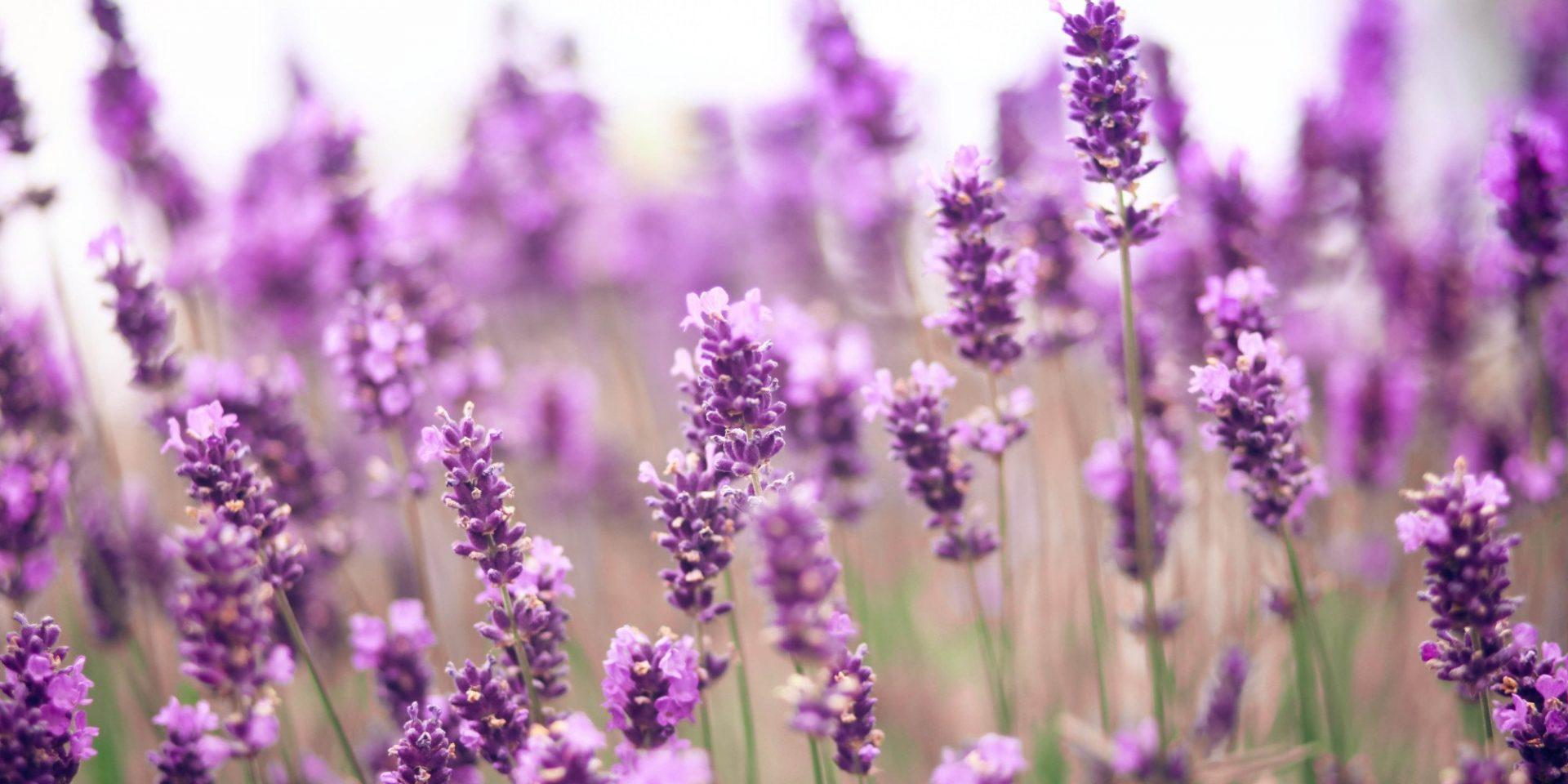 o-lavender-facebook-1017011